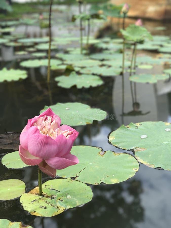 Lotus im Frieden stockfotos