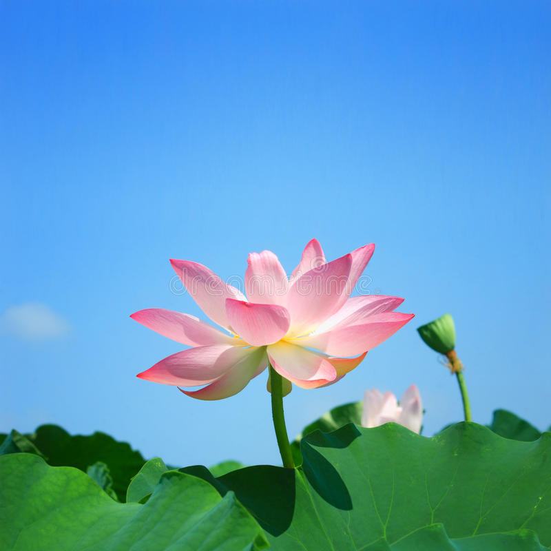 Free Lotus In Summer Stock Images - 11791874