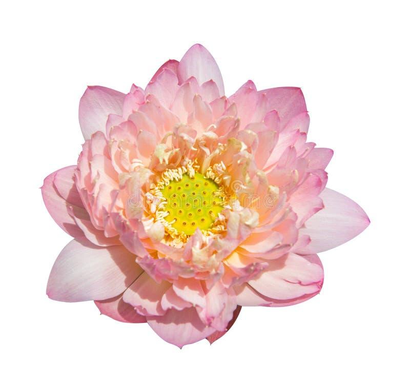 Lotus on isolated white stock photos
