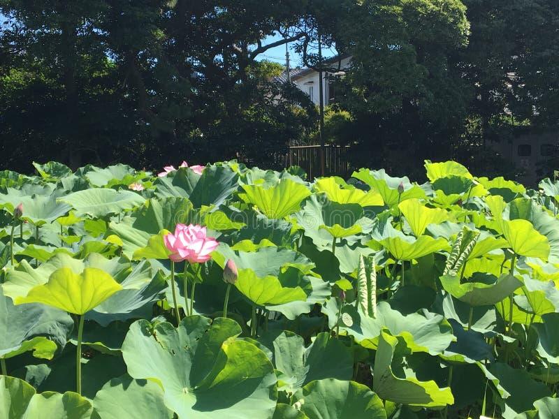 LOTUS JAPON 3 image libre de droits