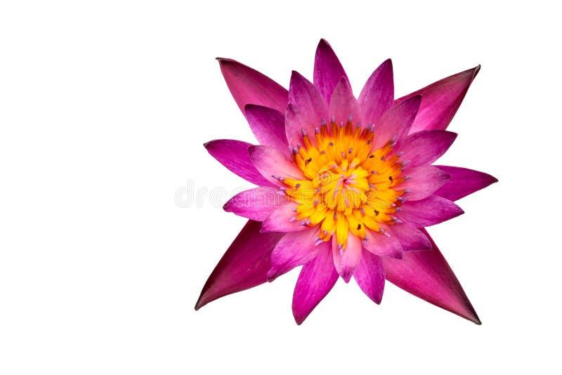 Lotus jest rośliną na białym tle jakby zdjęcia royalty free