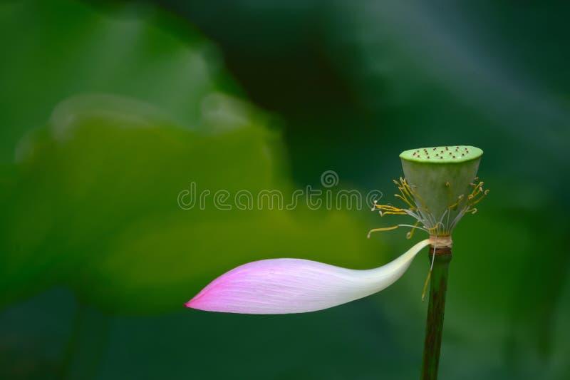 Lotus kärnar ur med det sista kronbladet för lotusblommablomman royaltyfri fotografi