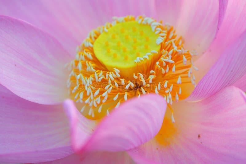 Lotus-kern royalty-vrije stock fotografie