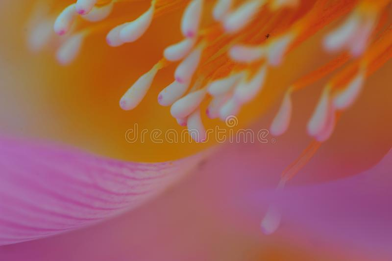 Lotus-kern stock foto's