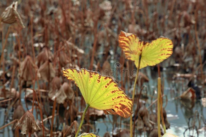 Charge. Lotus is a kind of water seedling cultivation business. Lotus is also known as lotus flower and water lotus. Lotus is a kind of aquatic plant. It enjoys royalty free stock photography