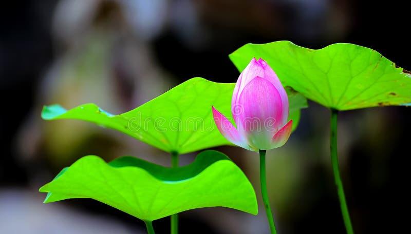 Lotus-knop en groene bladeren royalty-vrije stock foto's