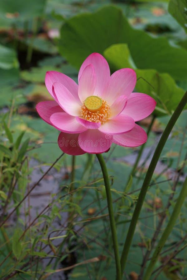 Lotus Komarova dans le lac photo stock