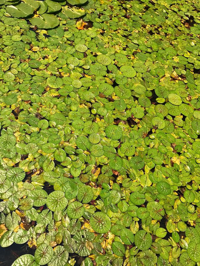 Lotus Leaf photo libre de droits