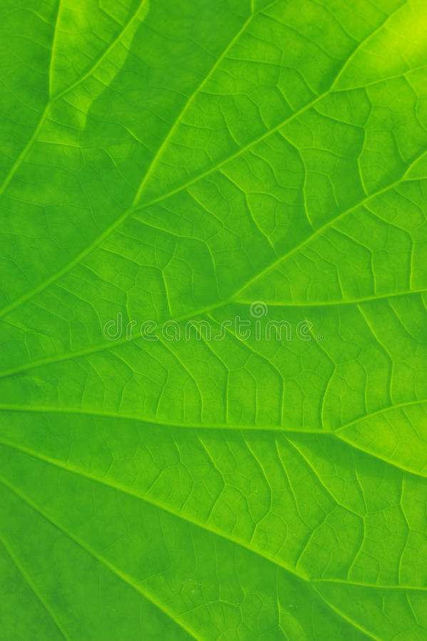 Download Lotus leaf stock image. Image of color, macro, botanic - 12289771