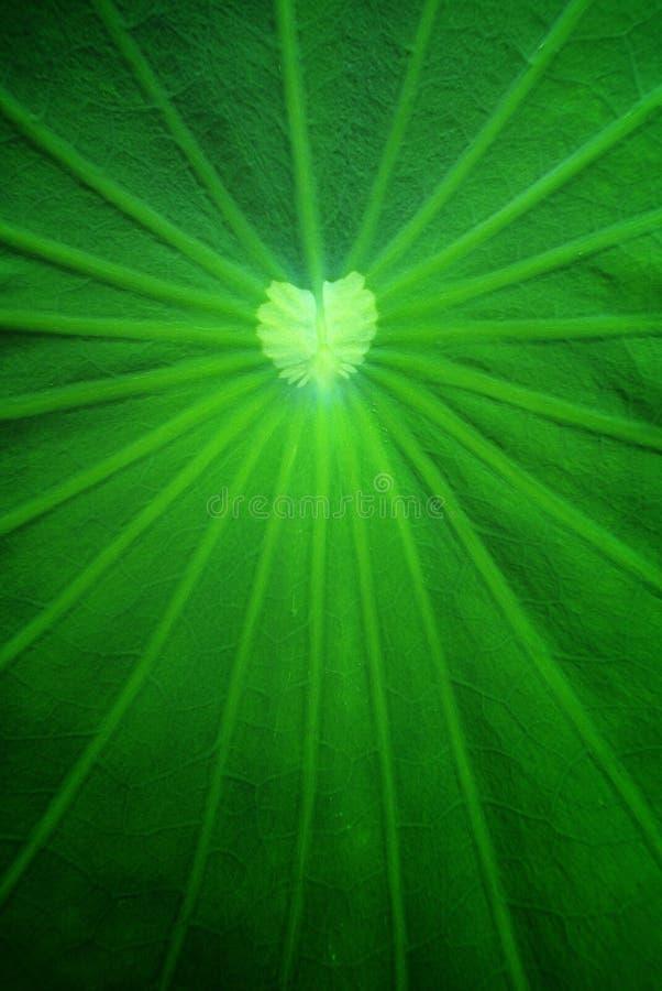 Download Lotus leaf stock image. Image of focus, floral, nature - 25193647