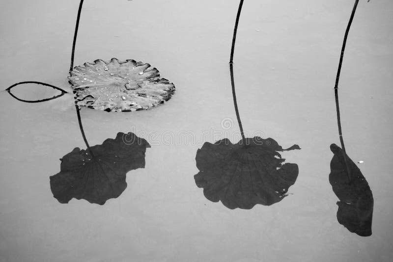 Lotus Leaf imagen de archivo libre de regalías