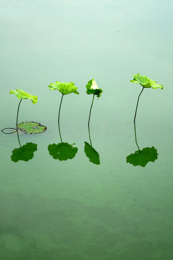 Lotus Leaf foto de archivo