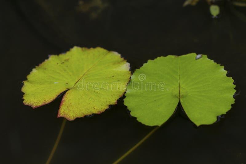 Lotus Leaf arkivbilder