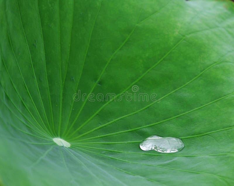 Download Lotus leaf stock photo. Image of matter, genuine, asia - 5394018