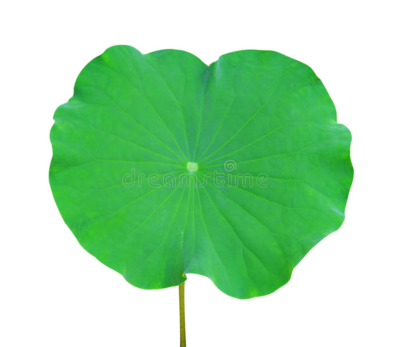 Lotus Leaf fotografia de stock royalty free