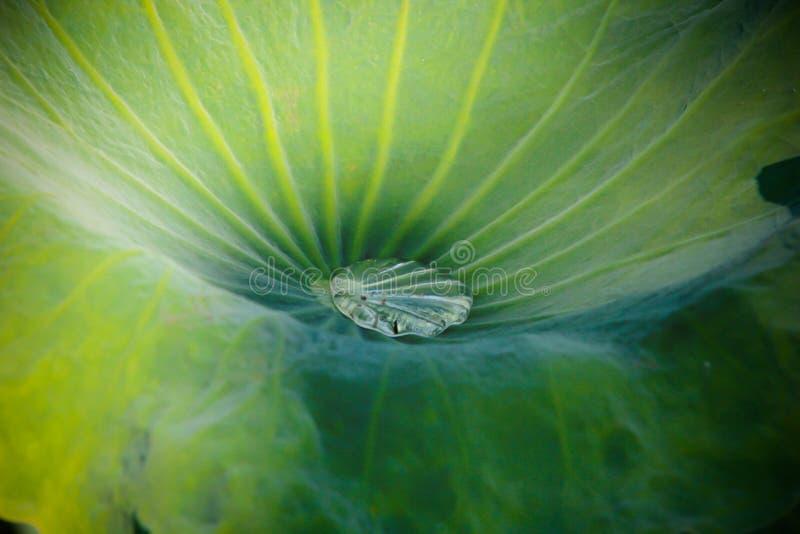 Lotus Leaf fotos de stock royalty free