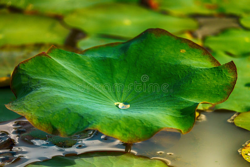 Lotus Leaf foto de stock royalty free