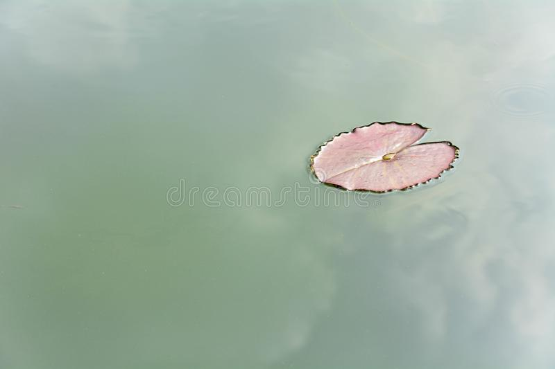 Lotus leaf on clean water in the pond with reflection from the sky. Background royalty free stock image