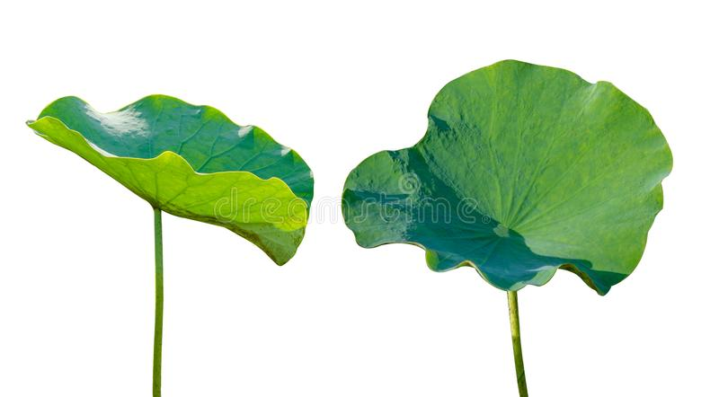 Lotus leaf Isolate 2 collection of white background royalty free stock image
