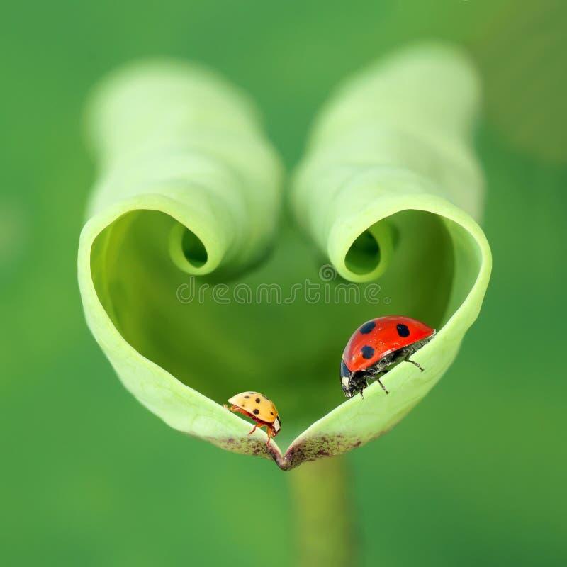 Lotus leaf and ladybugs. A red ladybug and a yellow ladybug on tender lotus leaf stock images