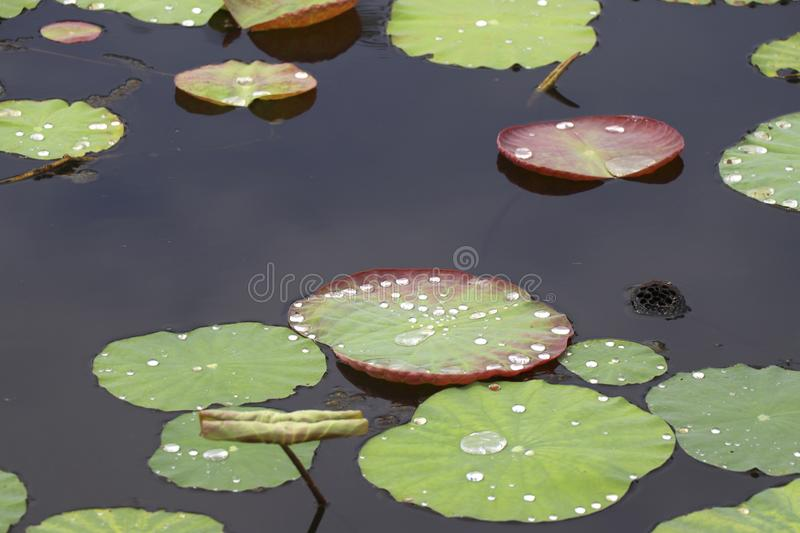 Lotus leaf in the marsh, which has a drop of water on top. royalty free stock photography