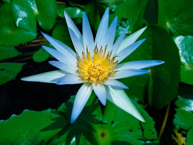 Lotus. Leaf pale blue, in honghu park, shenzhen royalty free stock photo