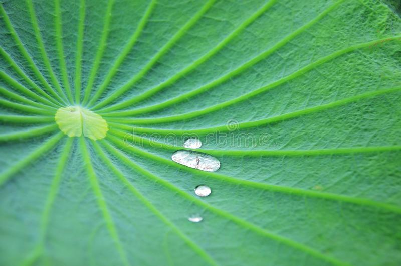The lotus leaf royalty free stock images