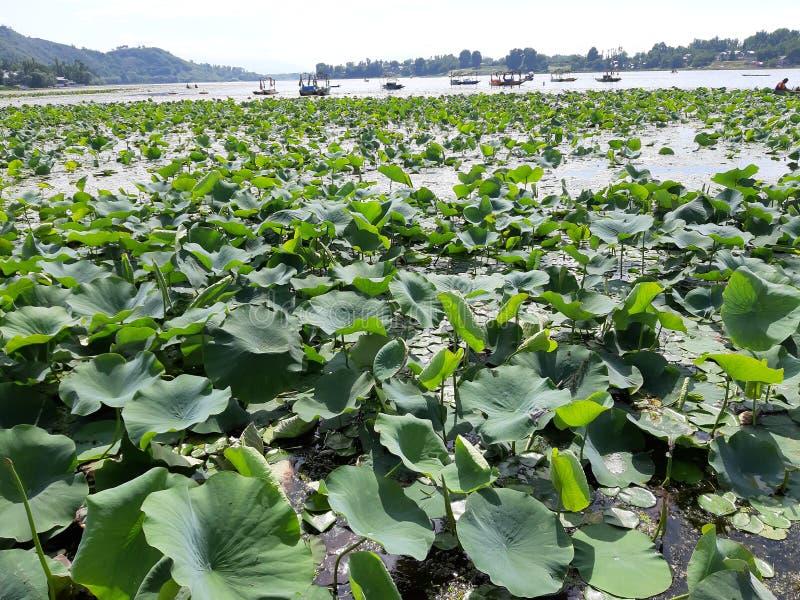 Lotus Leaves immagini stock