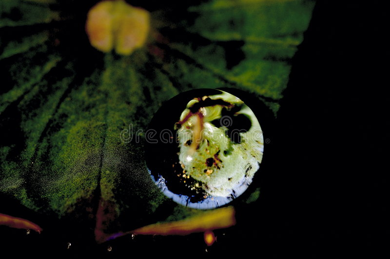 Download Lotus leaves Globe no2 stock image. Image of closeup, vegetation - 3327