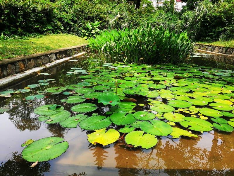 Lotus Leaves Gr?ner Naturhintergrund Wei?e Wolken ?ber den B?umen Botanischer Garten Anlagen, Bäume, Gras Tropische exotische Blu stockfotos