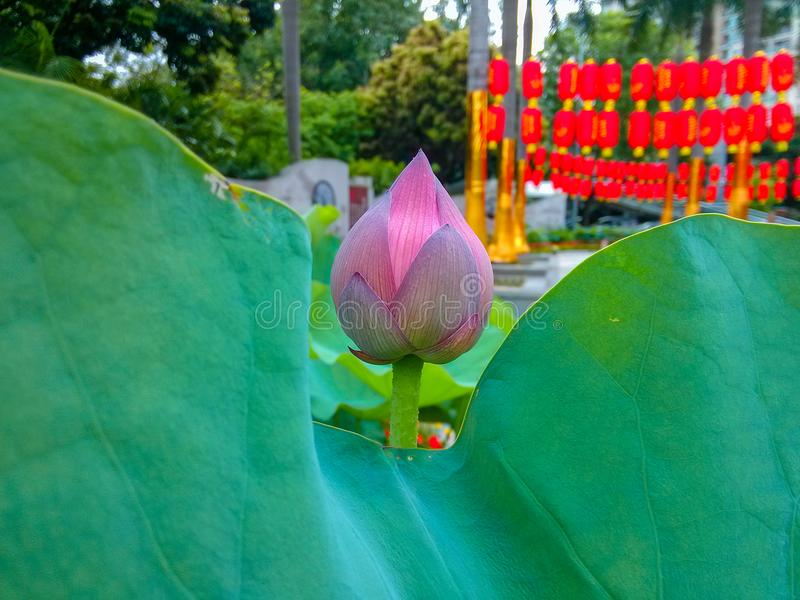 Through the lotus leaves, I see a lotus... Not in full bloom. China`s shenzhen honghu park, a lotus flower show every year. This is a feature of the park. This royalty free stock image