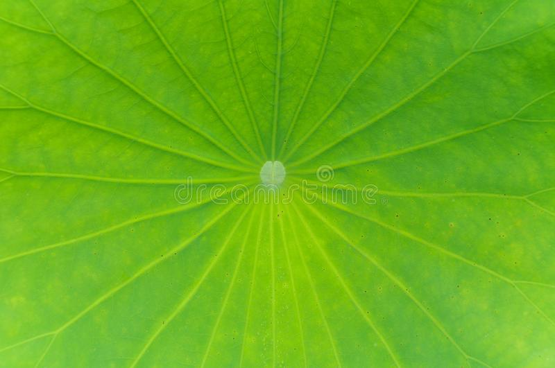 Lotus leaves royalty free stock images