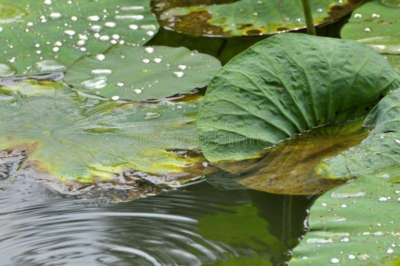 Lotus liście z rosą w stawie fotografia stock
