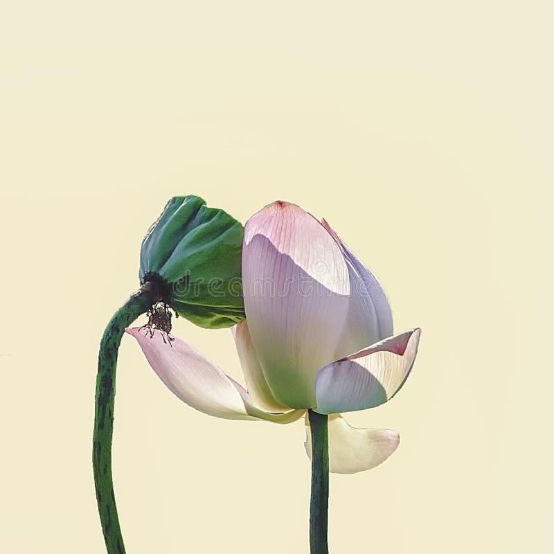 Lotus in liefde in de zomer royalty-vrije stock afbeeldingen
