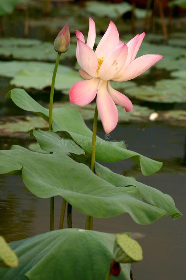 Free Lotus Lily Royalty Free Stock Image - 661146