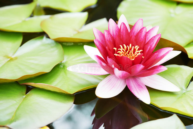 Lotus lily flower in water stock images