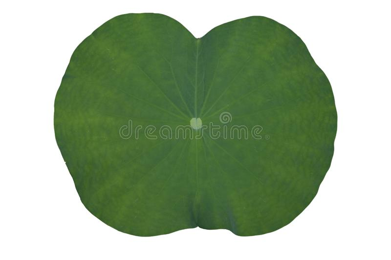Lotus or lily green leaves. stock images