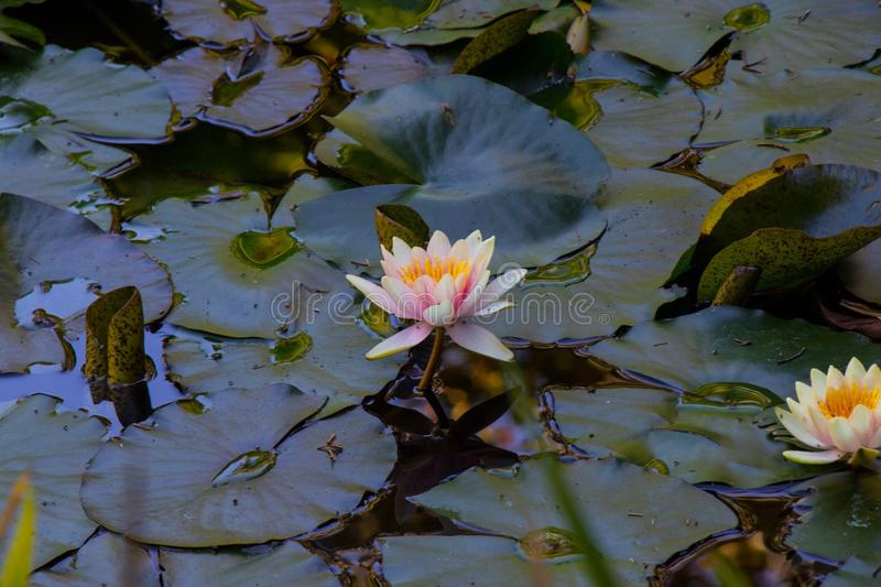 Lotus and Lily Pad stock photo