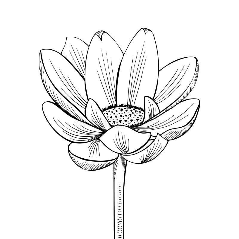Lotus Lily Water ilustración del vector