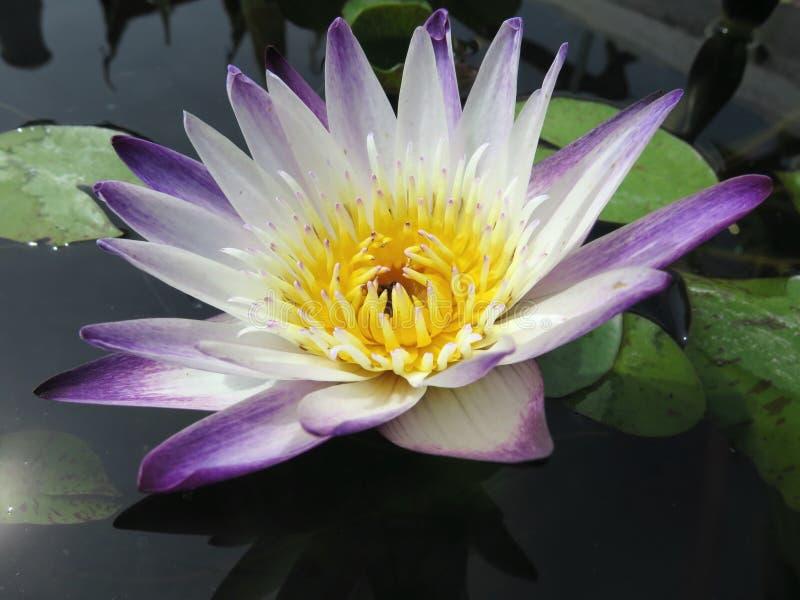Lotus 001 imagem de stock royalty free