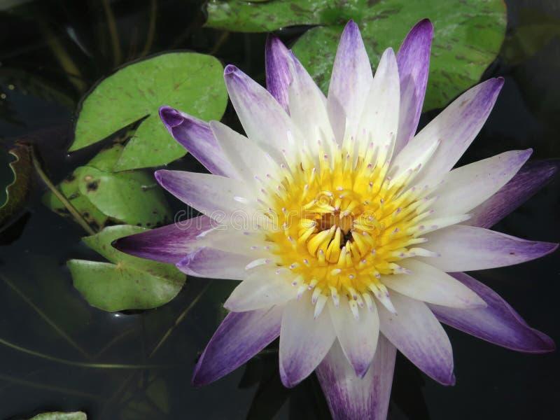 Lotus 002 imagens de stock royalty free