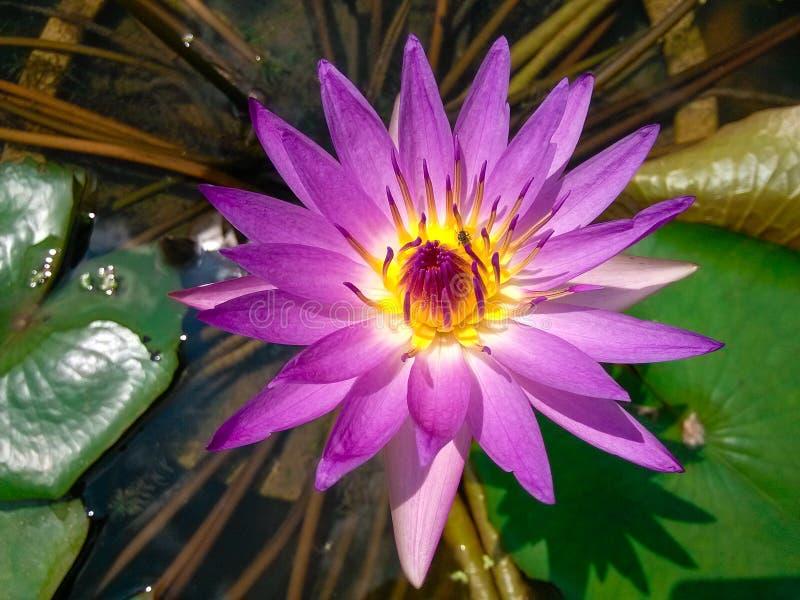 Lotus. Local close-up, a bug crawling on the stamen. Taken in honghu park, shenzhen royalty free stock photos