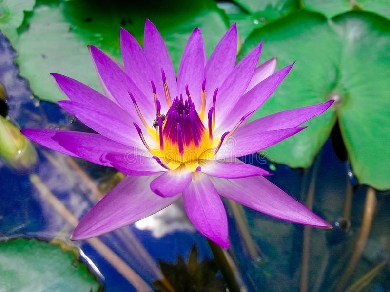 Lotus. Local close-up, a bug crawling on the stamen. Taken in honghu park, shenzhen stock photography