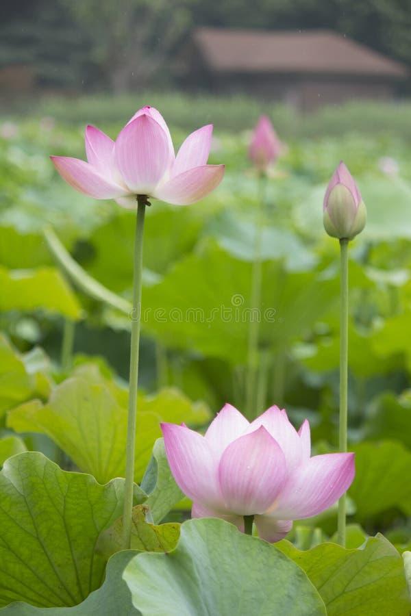 Lotus Lotus imagens de stock