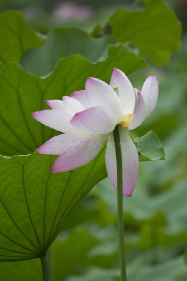 Lotus Lotus imagens de stock royalty free