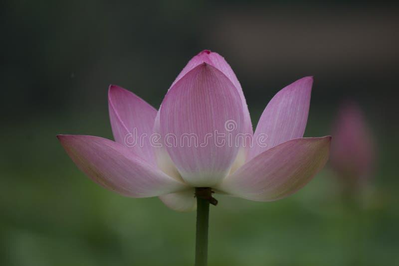 Lotus Lotus imagem de stock