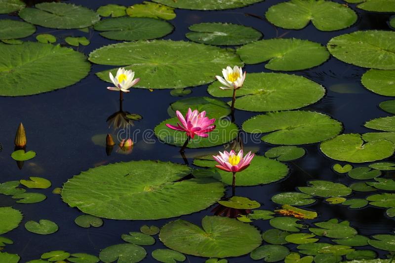 Lotus Love. Flowers are Happiness!! A click at Ulsoor Lake stock image