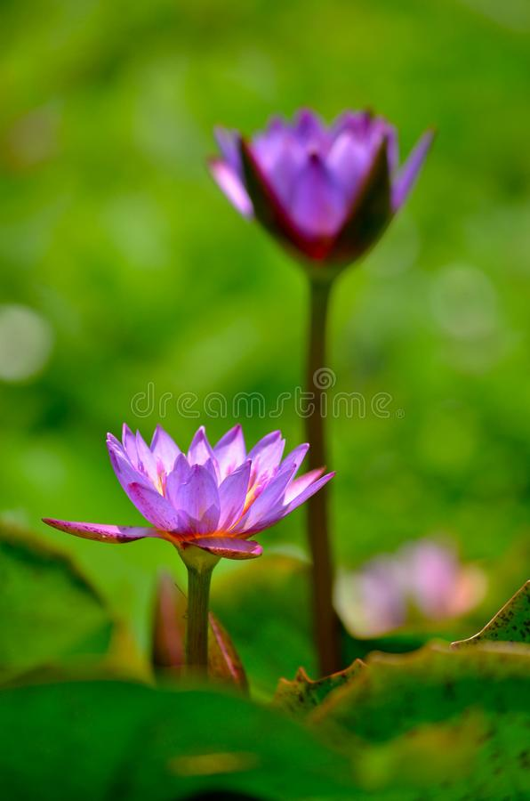 Lotus for love. royalty free stock photography