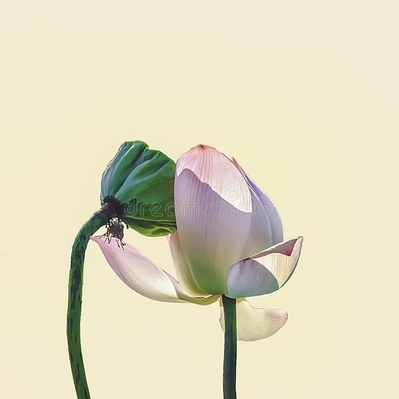 Lotus in love in summer royalty free stock images