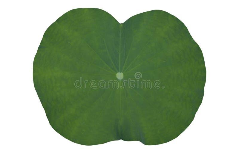 Lotus lub lelui zieleni liście obrazy stock